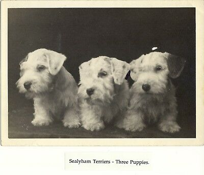 Sealyham Terriers Photograph of Three Adorable Puppies Ben Burwell Collection