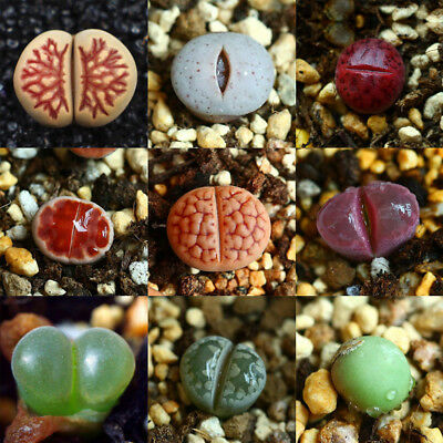 50/100x Mixed Rare Lithops Seeds Living Stones Succulent Cactus Plants Seed Set