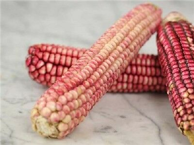 15 PINK GLASS GEM CORN Ornamental & Edible Zea Mays Vegetable Seeds Comb S/H