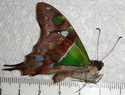 Abberration Graphium weiskei with blue on underside #J1 Butterfly Insect WOW
