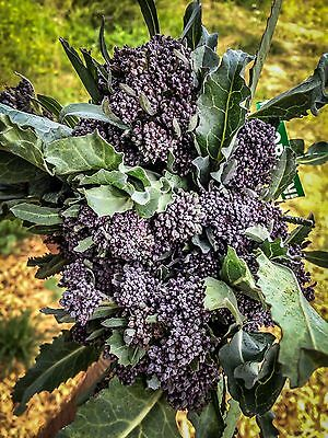 Certified Organic Purple Sprouting Broccoli Seeds (~150): Non-GMO Heirloom Seeds