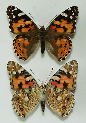 Nymphalidae - Vanessa cardui - Painted Lady - x2