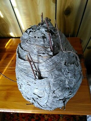 Giant Bald Face Hornet Nest Real Paper Wasp Nest