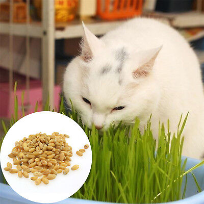 1Bag Harvested Cat Grass 1oz approx 800 Seeds Organic Growing Guide GT