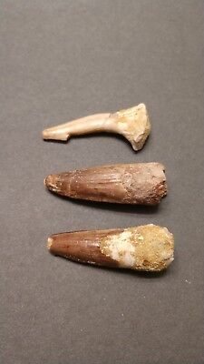 Two Spinosaurus teeth and a Saw fish tooth !! dinosaur Jurassic Park fossil set