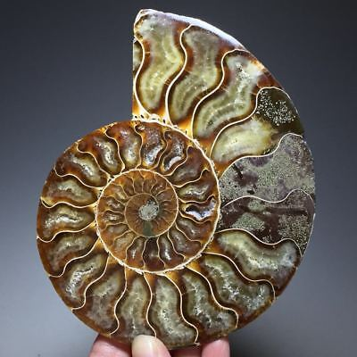 287g Beautiful Half of Split Ammonite Fossil Specimen Shell Healing,Madagascar