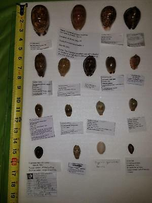 Set Of 17 Uncommon/rare Cypraea Shells - F++ To Gem - With Full Data