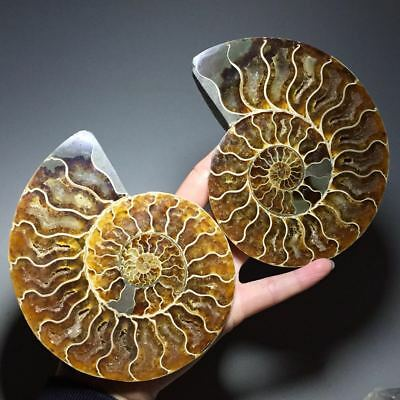 416g Beautiful Pair of Split Ammonite Fossil Specimen Shell Healing,Madagascar