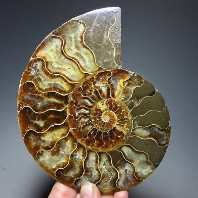 230g Beautiful Half of Split Ammonite Fossil Specimen Shell Healing,Madagascar
