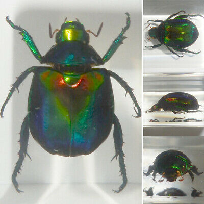 Colorful Scarab Beetle Mimela Splendens Real Insect Specimen Learning Aid Gift