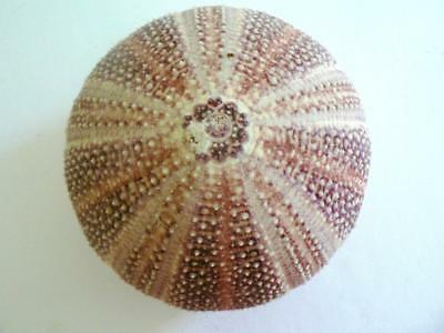 "Large 4.5"" Purple Pink Natural English Channel Sea Urchin Echinus"
