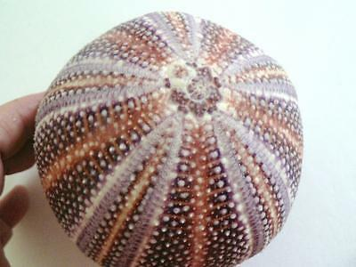 "4""  Purple Pink Natural English Channel Sea Urchin Echinus"