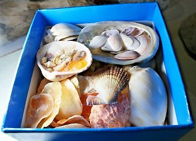 Box Quality Shells-Beach Decor-Display- Craft-Selected Beautiful Variety, Colour
