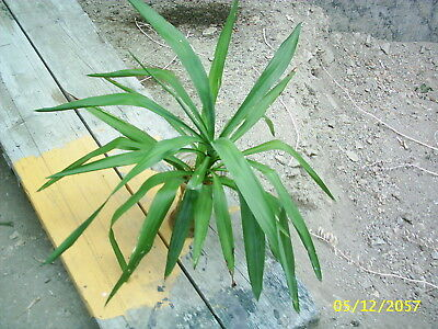 Yucca Palme Ableger Ca 50 Cm Hoch Mit Wurzeln Jungpflanze Eur 4