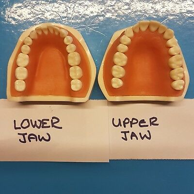 Frasaco Jaws Compatible Upper & Lower Typodent Jaws Feasaco Compatible