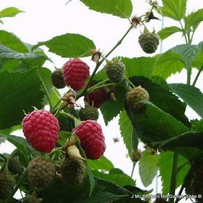 3 x Raspberry 'Cascade Delight' bareroot canes. Summer fruiting, heavy crop