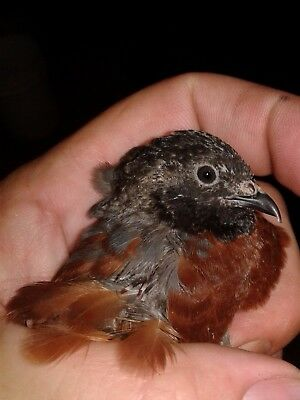 6+ Button Quail Hatching Eggs Select Assorted Colors  Most are Rare NPIP