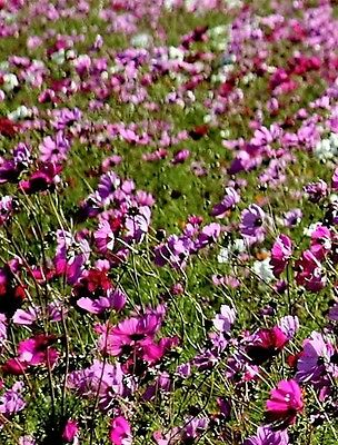 1000 PEPPERBOX POPPY MIX Papaver Mixed Colors Red Violet Flower Seeds Flat Ship