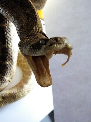 Stuffed Rattlesnake taxidermy mancave ornament Western authentic animal mount