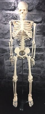 """33"""" Tabletop Skeleton With Stand"""