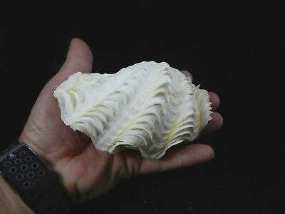 """Matched Pair Tridacna Maxima Elongate Rugose Giant Clam 5"""" to 5 1/4"""""""