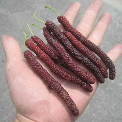 200 pcs/bag long mulberry rare mulberry tree Exotic plant Pakistan fruit seeds L
