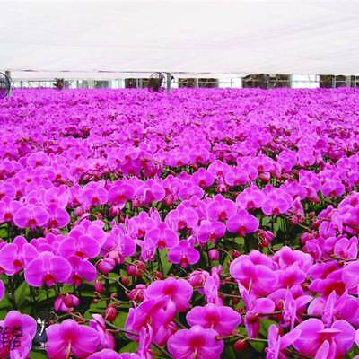 Phalaenopsis Orchids Seeds Beautiful Bonsai Flower Butterfly Orchid Seeds 150Pcs