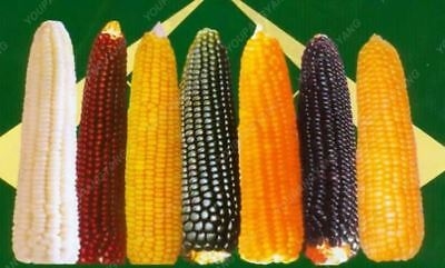 20 pcs rainbow corn seeds NO-GMO Glass Gem Corn vegetable seed for home garden f