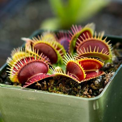 50X Mini Venus Fly Trap Seeds Carnivorous Plant Home Garden Seed Yard Cut