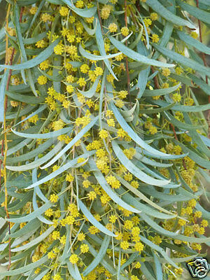 Weeping Myall Seeds Tolerates Severe Heat/Drought/Frost Evergreen  Medium Tree