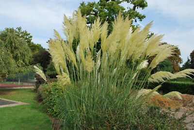 Perennial 200 seeds from bonsai_seeds - PAMPAS GRASS - WHITE FEATHER #11014
