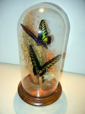 REAL Tropical Butterflies Sealed Glass Dome Display Case Wood Base