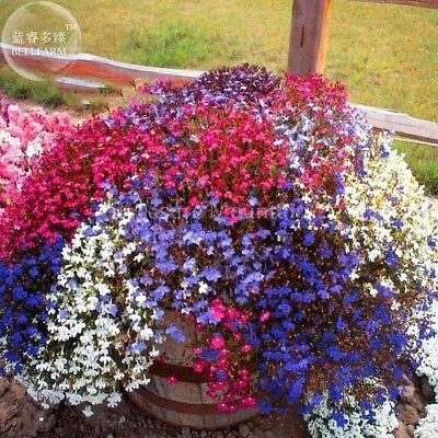Trailing Lobelia Cascade Mixed Seeds, professional pack, 100 Seeds,  bonsai balc