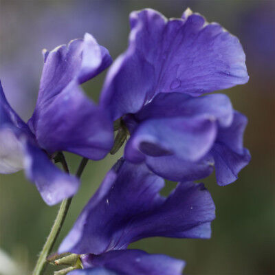 Annual 35 seeds from bonsai_seeds - ROYAL NAVY BLUE - SWEET PEA #11029