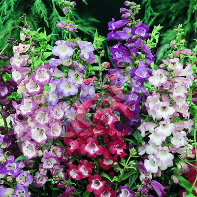 Perennial 1200 seeds from bonsai_seeds - PENSTEMON - Sensation mix #11042
