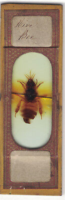 Antique Microscope Slide Norman Insect