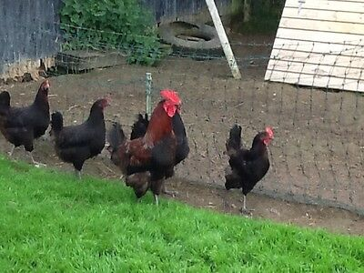 COPPER MARAN HATCHING EGGS X 6 large fowl great birds
