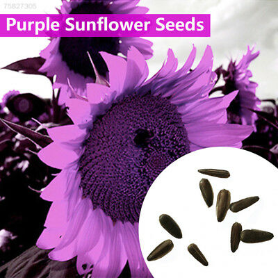 80E2 Purple GIANT SUNFLOWER -HELIANTHUS ANNUUS-100 FLOWER SEEDS-LARGE PACK D564