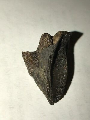 """1 1/8"""" Larger Whole Triceratops TOOTH & 2 Shed Teeth DINOSAUR fossil NO REPAIRS"""