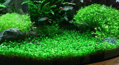 Aquarium Plant Seeds (Glossostigma Elatinoides) Decor Foreground <USA>
