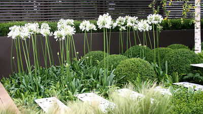 20+ Agapanthus White Flower Seeds / Lily Of The Nile / Perennial  Deer Resistant
