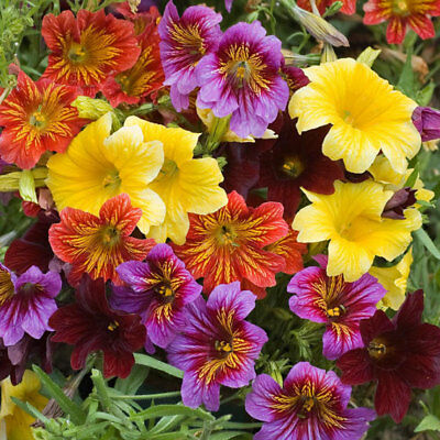 20+ Salpiglossis Royale Mix Flower Seeds / Painted Tongue / Stained Glass