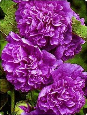 25+ Hollyhock Violet Chaters Double Flower Seeds - Alcea / Perennial / 8 Ft Tall