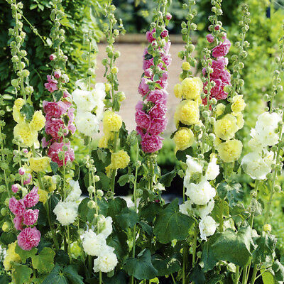 25+ Hollyhock Mix Chaters Double Flower Seeds - 6-7 Ft. Tall / Perennial / Alcea