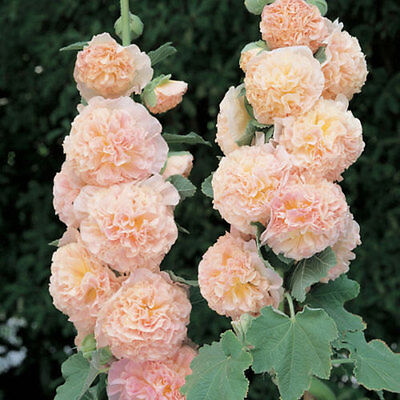 25+ Hollyhock Salmon Chaters Double Flower Seeds - Alcea / Perennial / Hardy!
