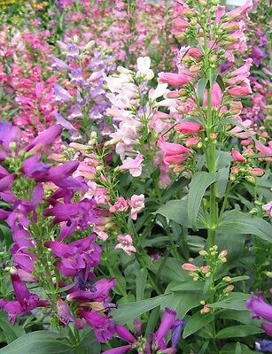50+ Penstemon Rondo Mix Flower Seeds / Beardtongue / Hummingbirds /  Perennial