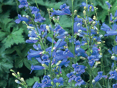 50+ Penstemon Blue Spring Flower Seeds / Beardtongue / Deer Resistant / Bees!