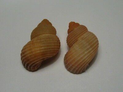 Tudorella sulcata. Great pair. Very nice, selected and very local endemic specie
