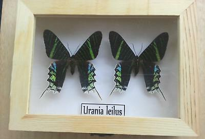 Real Framed Butterfly x2 Urania leilus Taxidermy Insects