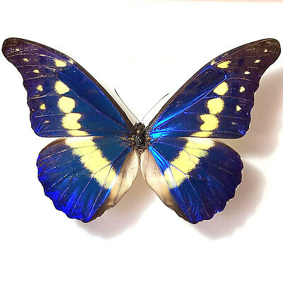 Real Mounted Butterfly Morpho rhetenor helena!! Taxidermy Insects not framed